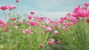 lovely-pink-flower-field