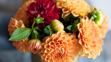 autumn-dahlias
