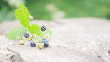 79ideas_wild_berries
