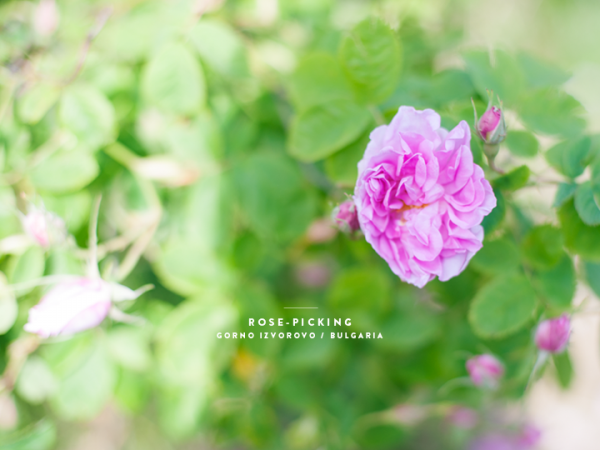 79ideas_rose_picking_gorno_izvorovo_bulgaria_text