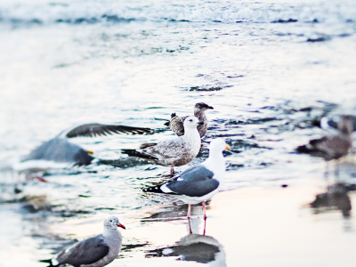 79ideas_birds_pacifica_state_beach