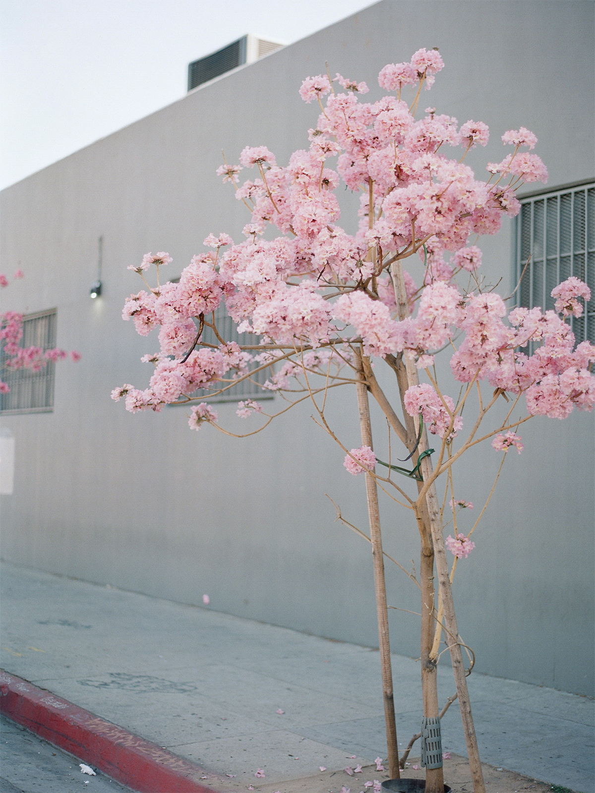 radostina_boseva_los_angeles_art_district_blossoming_trea